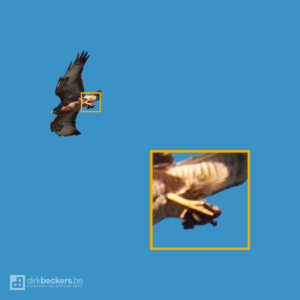 Time-lapse of a Buzzard while hunting