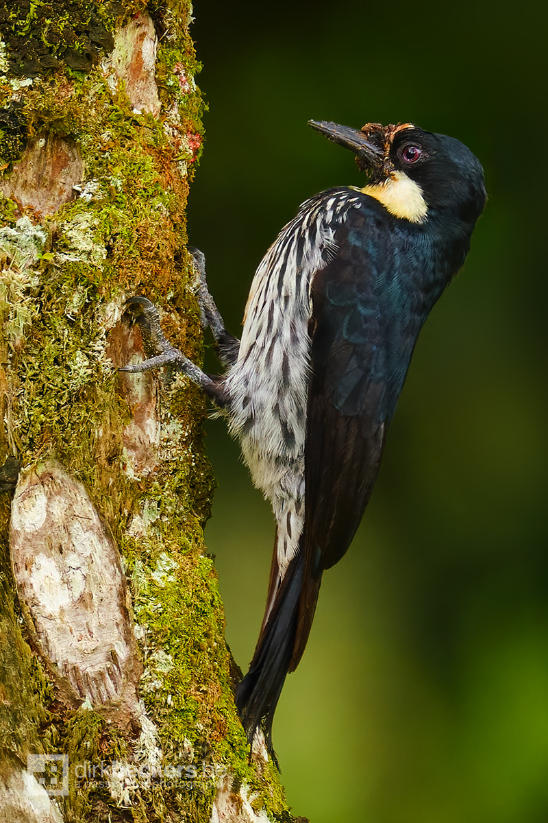 Acorn Woodpecker (female) standing on a trunk at Tinamú Birding Nature Reserve in Manizales Caldas, Colombia.