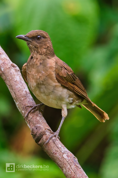 Black-billed Thrush standing on a branch at Tinamú Birding Nature Reserve in Manizales Caldas, Colombia.