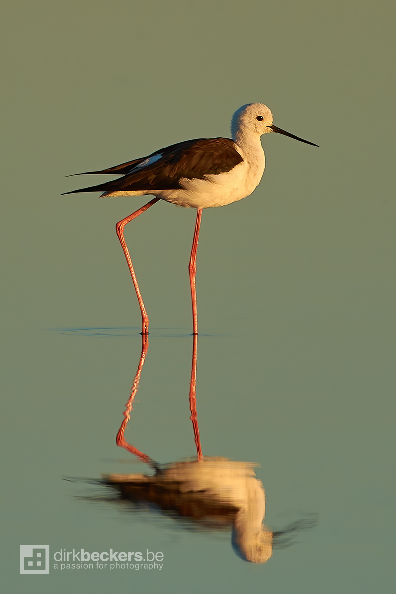 Black-winged Stilt standing in the water at sunrise in the Camargue, France.