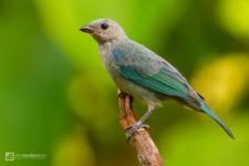 Blue-gray Tanager standing on a branch at Tinamú Birding Nature Reserve in Manizales Caldas, Colombia.