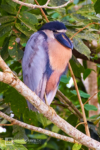 Boat-billed Heron standing on a branch at Caño Negro Wildlife Refuge in Costa Rica.