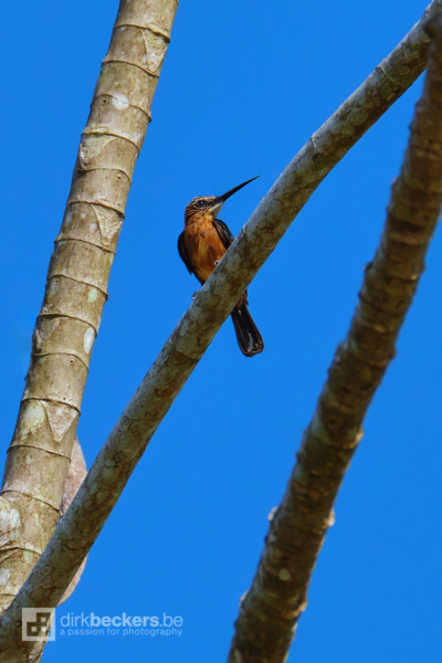 Brown Jacamar standing on a branch at Río Guayabero in Meta, Colombia.