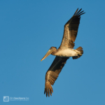 Flying Brown Pelican nearby the beach in Guanacaste, Costa Rica.