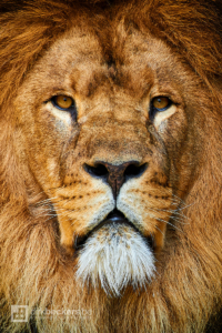 Close-up of Caesar, the oldest lion in Artis zoo in Amsterdam, Netherlands.