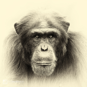 Meet our ancestor, a close-up of a Chimpanzee at Bioparc Valencia in Spain.