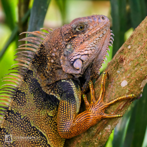 Close-up of an Iguana sitting on a branch at Tinamú Birding Nature Reserve in Manizales Caldas, Colombia.