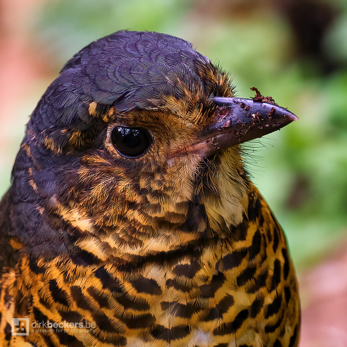 Close-up of an Undulated Antpitta at Río Blanco Reserva Natural in Caldas, Colombia.