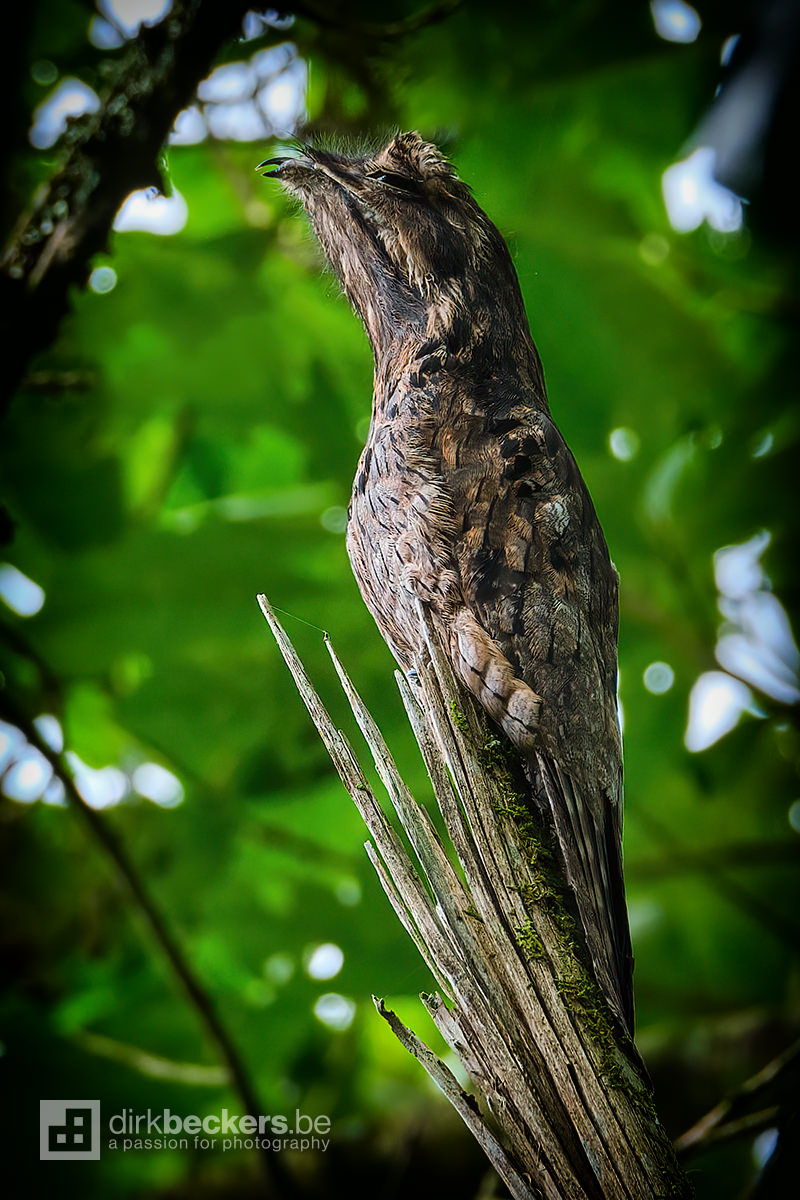 Common Potoo standing on a branch at Tinamú Birding Nature Reserve in Manizales Caldas, Colombia.