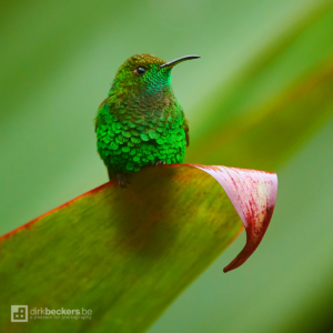 Coppery-headed Emerald standing on a leaf at La Paz Waterfall Gardens Nature Park in Costa Rica.