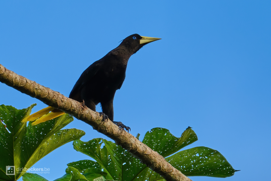 Crested Oropendola standing on a branch at Río Guayabero in Meta, Colombia.