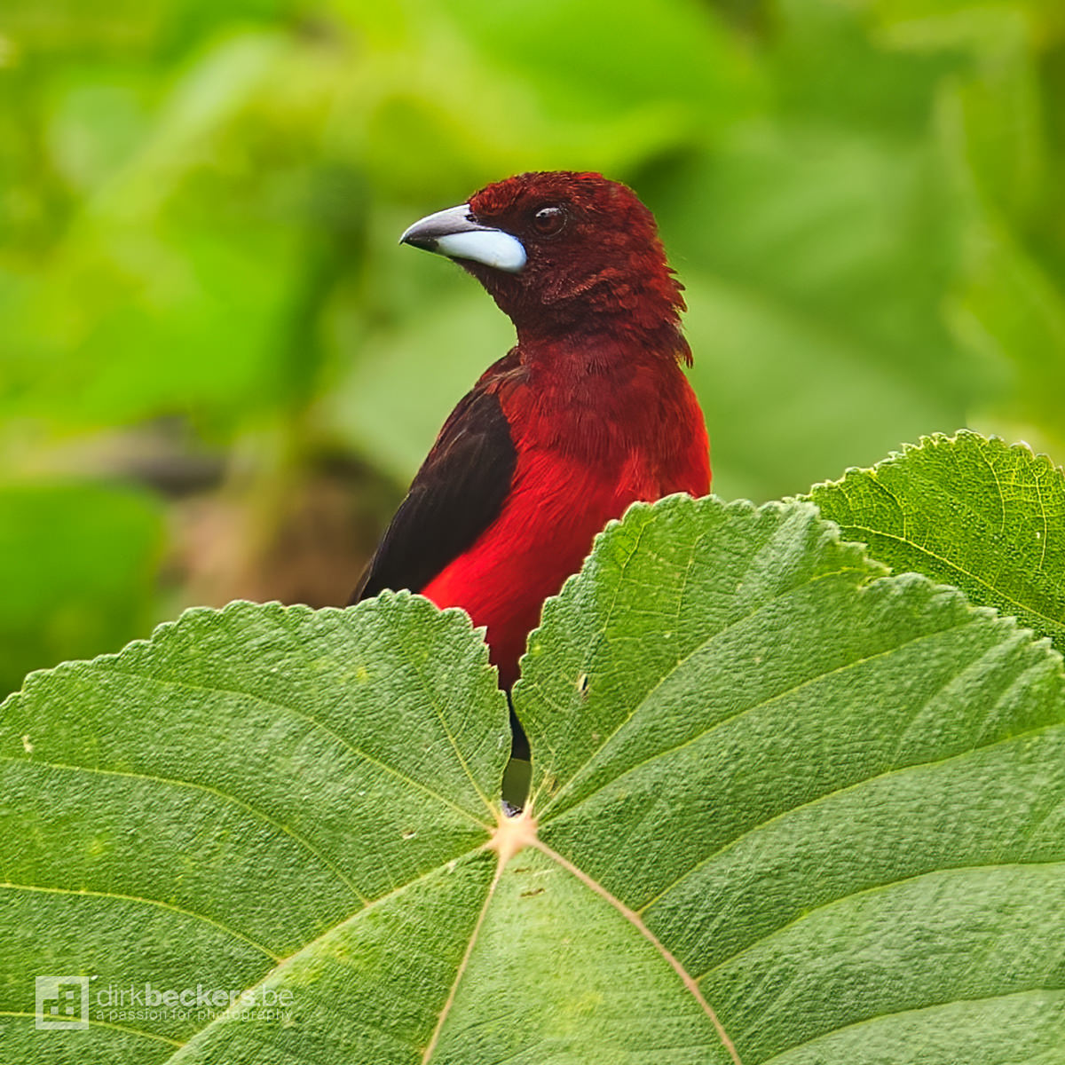 Crimson-backed Tanager standing on a branch at Tinamú Birding Nature Reserve in Manizales Caldas, Colombia.