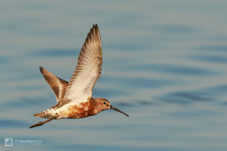 Flying Curlew Sandpiper at the Camargue in France.