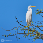 Great Egret standing on a branch at Río Guayabero in Meta, Colombia.
