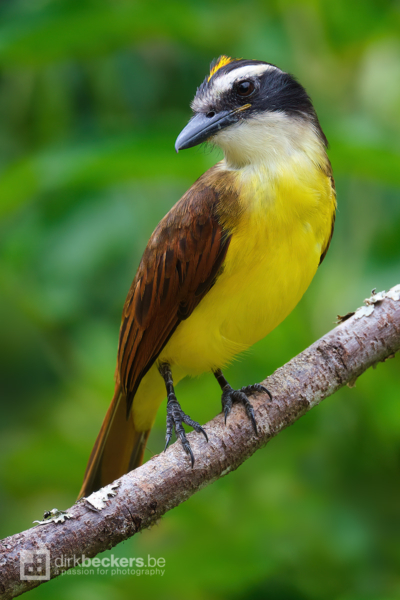 Great Kiskadee standing on a branch at Tinamú Birding Nature Reserve in Manizales Caldas, Colombia.