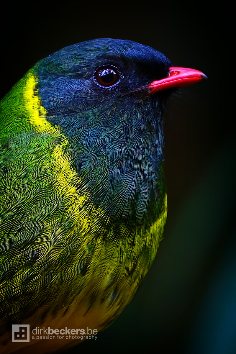 Close-up of a Green-and black Fruiteater at Río Blanco Reserva Natural in Caldas, Colombia.