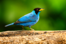 Green Honeycreeper (male) standing on a branch at Tinamú Birding Nature Reserve in Manizales Caldas, Colombia.