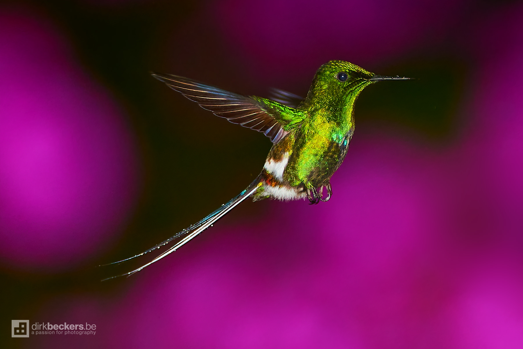 Hovering Green Thorntail at La Paz Waterfall Gardens Nature Park in Costa Rica.