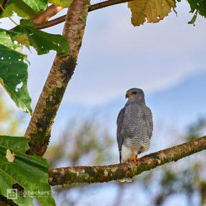 Grey Hawk standing on a branch nearby the Arenal Volcano in Costa Rica.
