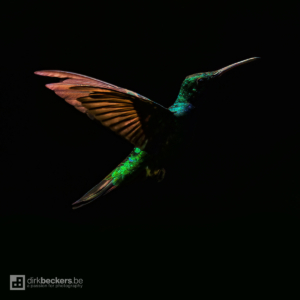 Rufous-tailed Hummingbird hovering in almost complete darkness with a little sunlight shining thru the canopy at Tinamú Birding Nature Reserve in Manizales Caldas, Colombia.