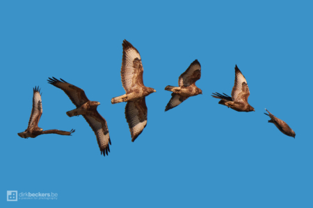 Time-lapse of a hunting Buzzard at the Hobokense Polder/Polderbos in Belgium.