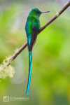Long-tailed Sylph standing on a branch at Río Blanco Reserva Natural in Caldas, Colombia.
