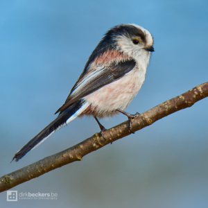 Long-tailed Tit standing on a branch at Kragenwiel in Bornem, Belgium.