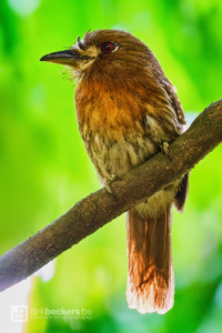 Moustached Puffbird standing on a branch at Tinamú Birding Nature Reserve in Manizales Caldas, Colombia.