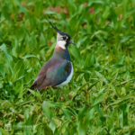 Northern Lapwing standing in a field at Hingene/Bornem in Belgium.