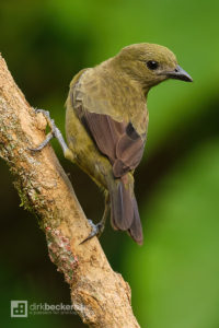 Palm Tanager standing on a branch at Tinamú Birding Nature Reserve in Manizales Caldas, Colombia.