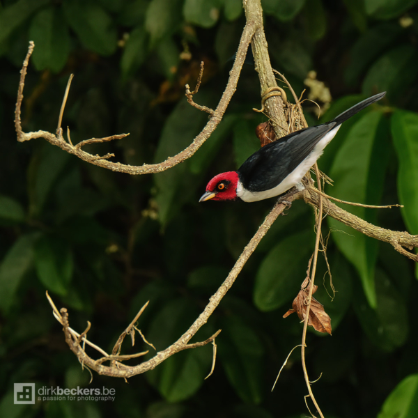 Red-capped Cardinal standing on a branch at Río Guayabero in Meta, Colombia.