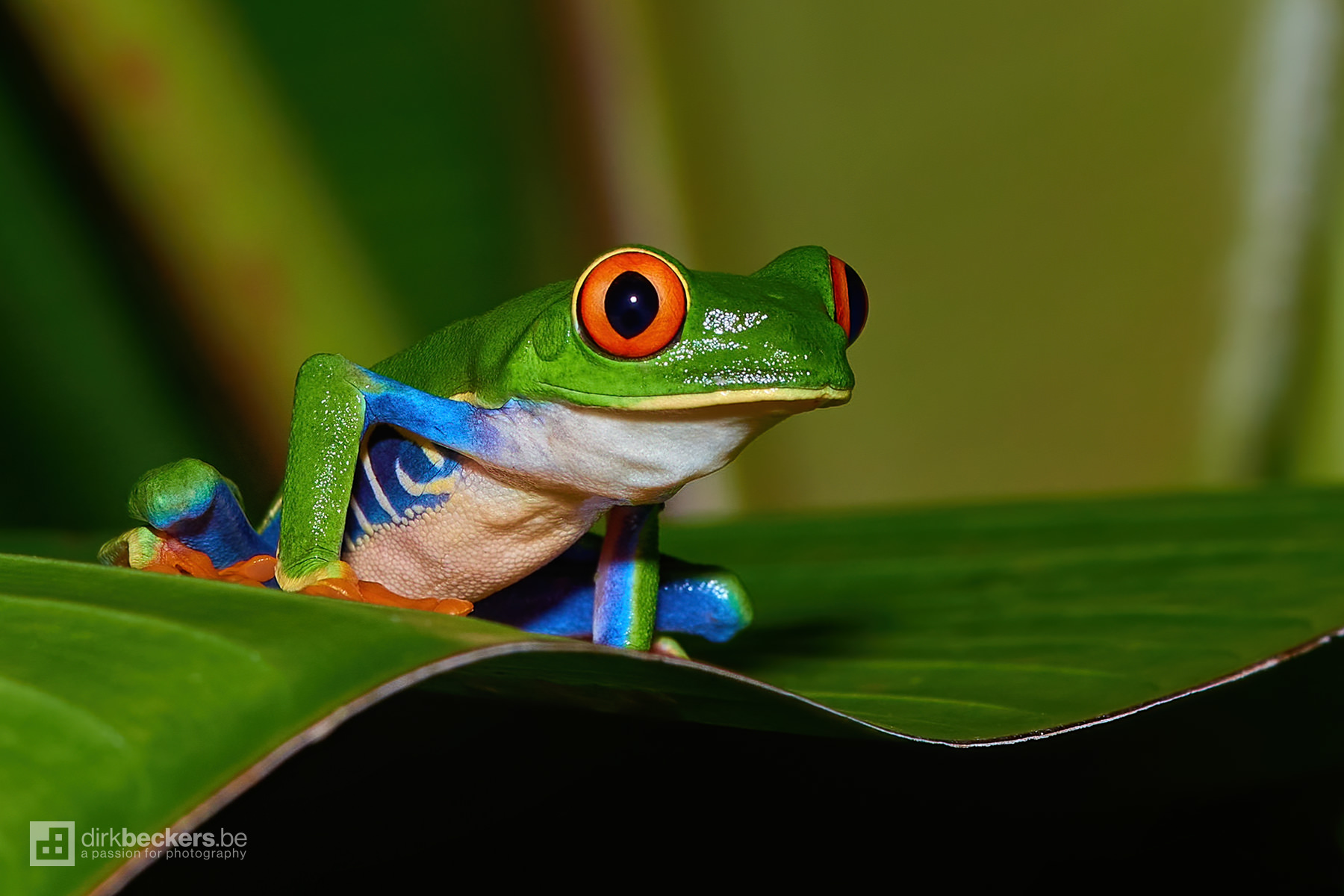During my many evening walks into the cloud forest of Arenal in Costa Rica, I stumbled upon this little guy. The Red-eyed Tree Frog.