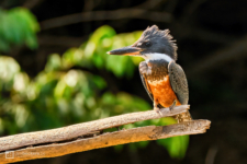 Ringed Kingfisher standing on an old branch at Río Guayabero in Meta, Colombia.