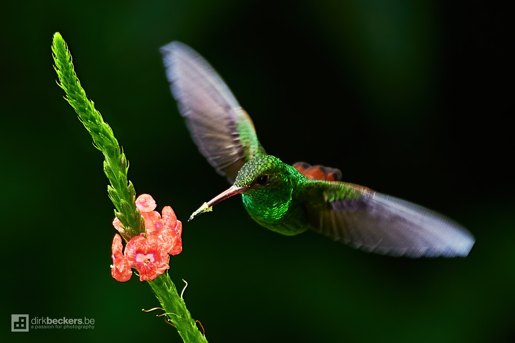 Rufous-tailed Hummingbird drinking nectar nearby the Arenal Volcano in Costa Rica.