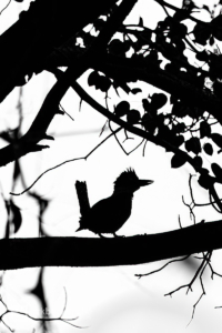 Silhouette of a Ringed Kingfisher at Palo Verde National Park in Guanacaste, Costa Rica.