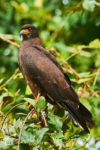 Snail Kite standing on a branch at Caño Negro Wildlife Refuge in Costa Rica.