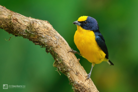 Thick-billed Euphonia standing on a brach at Tinamú Birding Nature Reserve in Manizales Caldas, Colombia.