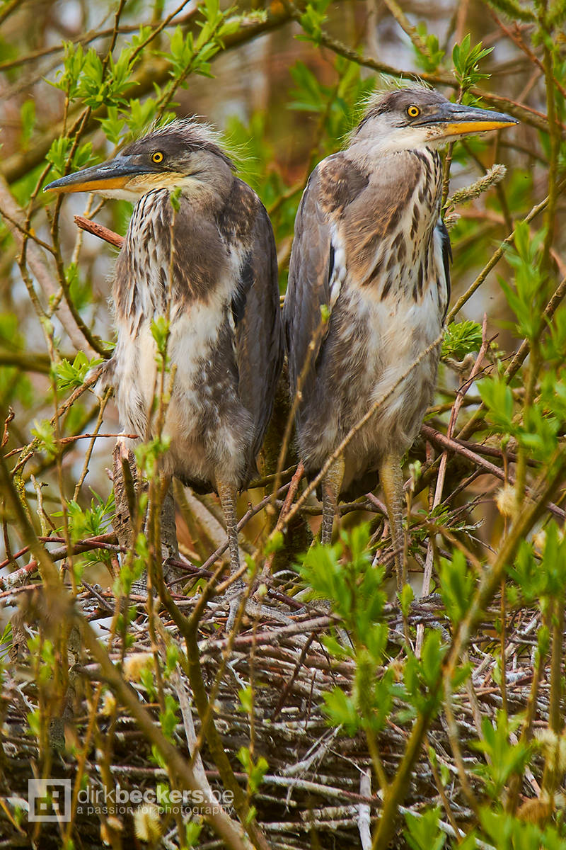 Two Juvenile Grey Herons still in the nest waiting for mother to bring some food. I took the photo at Hingene/Bornem (not going to say where exactly) in Belgium.