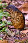 Undulated Antpitta at Río Blanco Reserva Natural in Caldas, Colombia.