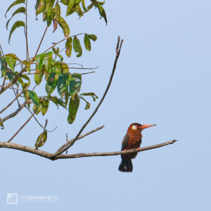 White-eared Jacamar standing on a branch at Río Guayabero in Meta, Colombia.