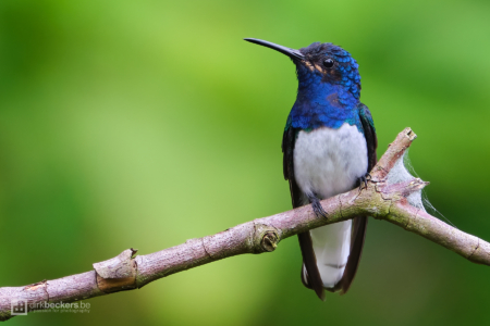 White-necked Jacobin standing on a branch at Tinamú Birding Nature Reserve in Manizales Caldas, Colombia.