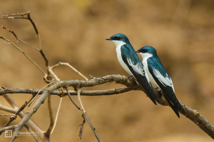 Two White-winged Swallows standing on a branch at Río Guayabero in Meta, Colombia.